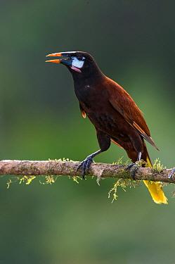 Montezuma Oropendola (Psarocolius montezuma), Costa Rica  -  E.J. Peiker/ BIA