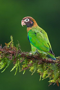 Brown-hooded Parrot (Pyrilia haematotis), Costa Rica  -  E.J. Peiker/ BIA