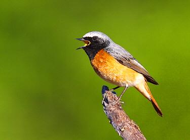 Common Redstart (Phoenicurus phoenicurus) calling male, Portugal  -  Carlos Patricio/ BIA