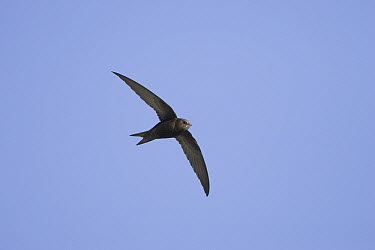 Common Swift (Apus apus)  -  Mike Danzenbaker/ BIA