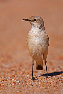 Tractrac Chat (Cercomela tractrac), Swakopmund, Erongo, Namibia  -  Christine Jung/ BIA