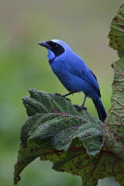 Turquoise Jay (Cyanolyca turcosa), Ecuador  -  Glenn Bartley/ BIA