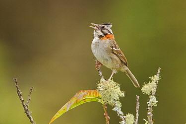 Rufous-collared Sparrow (Zonotrichia capensis) singing, Ecuador  -  Glenn Bartley/ BIA