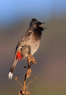 Red-vented Bulbul (Pycnonotus cafer), Uttarakhand, India  -  Satyendra Sharma/ BIA