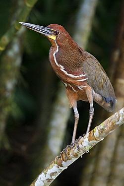 Rufescent Tiger-Heron (Tigrisoma lineatum)  -  Glenn Bartley/ BIA
