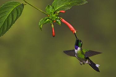 Purple-bibbed Whitetip (Urosticte benjamini) male feeding on nectar, Ecuador  -  Glenn Bartley/ BIA