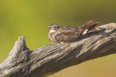 Anthony's Nightjar (Caprimulgus anthonyi), Ecuador  -  Glenn Bartley/ BIA