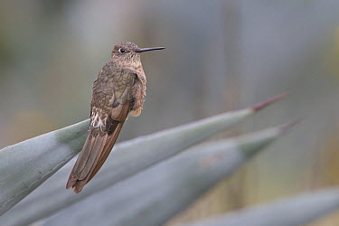 Giant Hummingbird (Patagona gigas), Ecuador  -  Glenn Bartley/ BIA