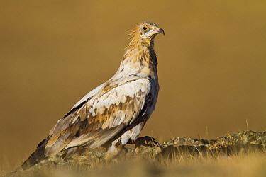 Egyptian Vulture (Neophron percnopterus), Castile-La Mancha, Spain  -  Oscar Diez/ BIA