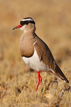 Crowned Lapwing (Vanellus coronatus), Kgalagadi Transfrontier Park, Northern Cape, South Africa  -  Christine Jung/ BIA