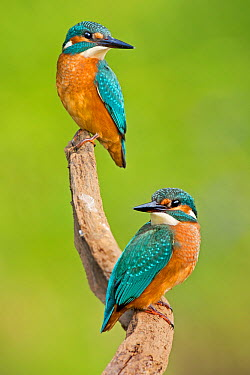 Common Kingfisher (Alcedo atthis) pair, Saxony-Anhalt, Germany  -  Thomas Hinsche/ BIA