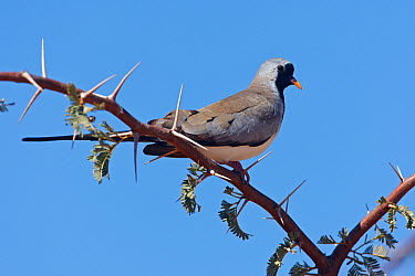 Masked Dove (Oena capensis), Northern Cape, South Africa  -  Christine Jung/ BIA