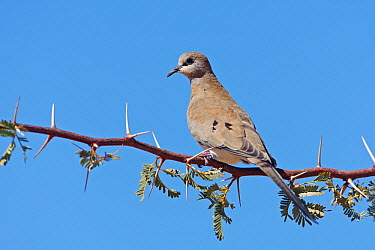 Masked Dove (Oena capensis), Kgalagadi Transfrontier Park, Northern Cape, South Africa  -  Christine Jung/ BIA