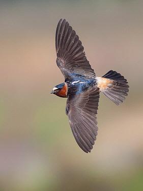 American Cliff Swallow (Petrochelidon pyrrhonota), California  -  Benjamin Knoot/ BIA