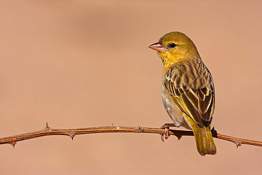Masked-Weaver (Ploceus velatus) female, Kgalagadi Transfrontier Park, Northern Cape, South Africa  -  Christine Jung/ BIA