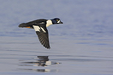 Barrow's Goldeneye (Bucephala islandica) male flying, British Columbia, Canada  -  Glenn Bartley/ BIA