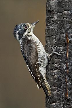 American Three-toed Woodpecker (Picoides dorsalis), Manitoba, Canada  -  Glenn Bartley/ BIA