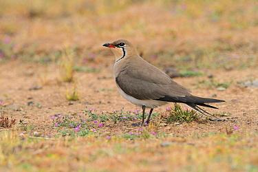 Collared Pratincole (Glareola pratincola), Extremadura, Spain  -  Patrick Donini/ BIA