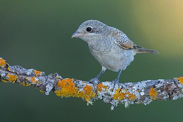 Woodchat Shrike (Lanius senator) juvenile, Cadiz, Spain  -  Andres M. Dominguez/ BIA