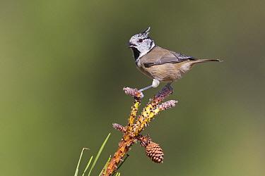 Crested Tit (Lophophanes cristatus), Portugal  -  Humberto Ramos/ BIA