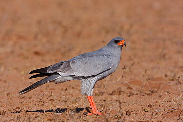 Pale Chanting-Goshawk (Melierax canorus) male, Kgalagadi Transfrontier Park, Northern Cape, South Africa  -  Christine Jung/ BIA