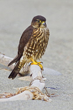 Merlin (Falco columbarius), Washington  -  Glenn Bartley/ BIA