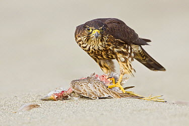 Merlin (Falco columbarius) on raptor prey, Washington  -  Glenn Bartley/ BIA