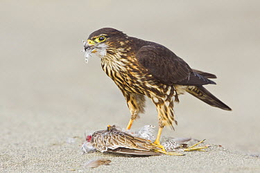 Merlin (Falco columbarius) on shorebird prey, Washington  -  Glenn Bartley/ BIA