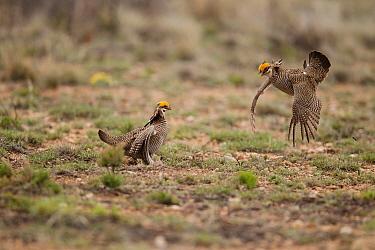 Lesser Prairie Chicken (Tympanuchus pallidicinctus) males displaying at lek, Roosevelt County, New Mexico  -  Bob Steele/ BIA