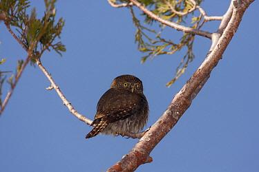 Mountain Pygmy-Owl (Glaucidium gnoma), Fresno County, California  -  Bob Steele/ BIA