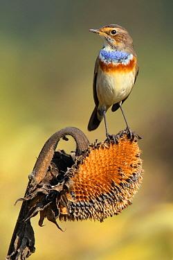 Bluethroat (Luscinia svecica) male, Bern, Switzerland  -  Stefan Rieben/ BIA