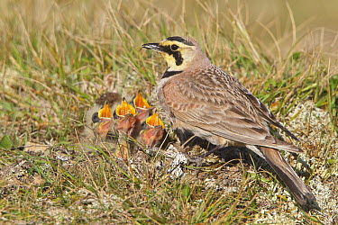 Horned Lark (Eremophila alpestris) with begging chicks at nest, Newfoundland, Canada  -  Glenn Bartley/ BIA
