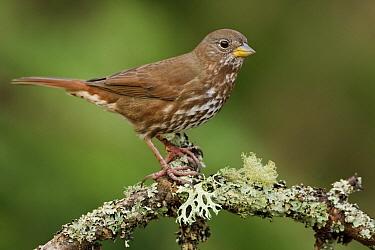 Sooty Fox Sparrow (Passerella iliaca unalaschcensis), British Columbia, Canada  -  Glenn Bartley/ BIA