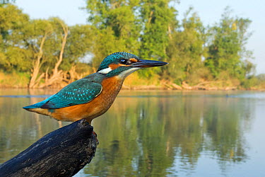 Common Kingfisher (Alcedo atthis), Saxony-Anhalt, Germany  -  Thomas Hinsche/ BIA
