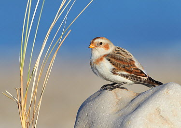Snow Bunting (Plectrophenax nivalis) female, Wales, United Kingdom  -  Richard Steel/ BIA