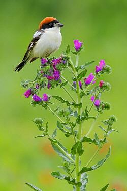 Woodchat Shrike (Lanius senator), Cadiz, Spain  -  Andres M. Dominguez/ BIA