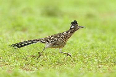 Greater Roadrunner (Geococcyx californianus), Texas  -  Alan Murphy/ BIA