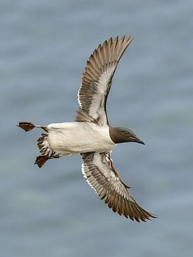 Brunnich's Guillemot (Uria lomvia) flying, Alaska  -  Alan Murphy/ BIA