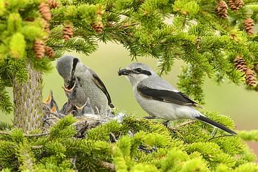 Great Grey Shrike (Lanius excubitor) parents feeding chicks at nest, Alaska  -  Alan Murphy/ BIA