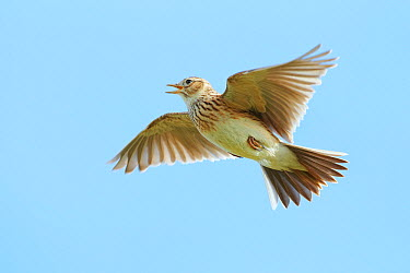 Eurasian Skylark (Alauda arvensis) singing, Wirral Peninsula, United Kingdom  -  Richard Steel/ BIA