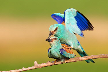 European Roller (Coracias garrulus) pair mating, Hungary  -  Richard Steel/ BIA