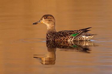 Common Teal (Anas crecca) female, Netherlands  -  Walter Soestbergen/ BIA