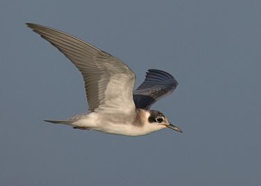 Black Tern (Chlidonias niger), North Carolina  -  Robert Royse/ BIA