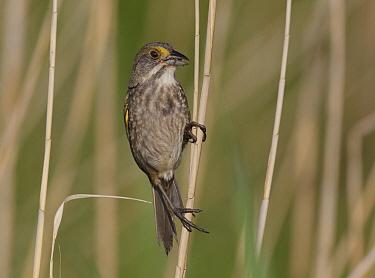 Seaside Sparrow (Ammodramus maritimus), Delaware  -  Robert Royse/ BIA
