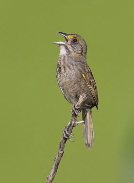 Seaside Sparrow (Ammodramus maritimus) singing, Delaware  -  Robert Royse/ BIA