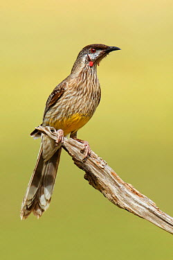 Red Wattlebird (Anthochaera carunculata), New South Wales, Australia  -  Jan Wegener/ BIA