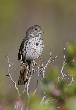Thick-billed Fox Sparrow (Passerella iliaca megarhyncha), California  -  Robert Royse/ BIA