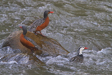 Torrent Duck (Merganetta armata) females and male, Machu Picchu, Peru  -  Glenn Bartley/ BIA