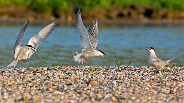 Common Tern (Sterna hirundo) trio, Texel, Netherlands  -  Thomas Hinsche/ BIA