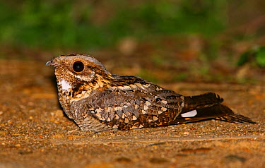 Red-necked Nightjar (Caprimulgus ruficollis), Portugal  -  Pedro Marques/ BIA